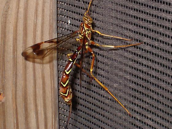 ID me please - Megarhyssa macrurus - female