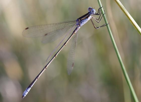 A very southern sighting of Lestes unguiculatus? - Lestes - male
