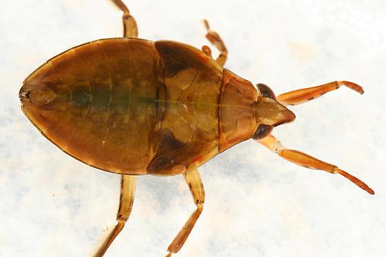 Giant Water Bug Nymph - Belostoma