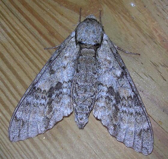 Ash Sphinx - Manduca jasminearum
