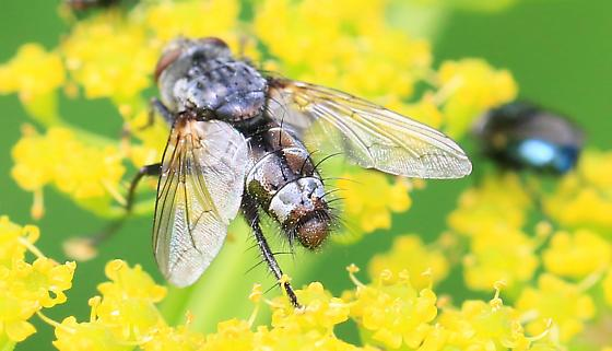 tachinid fly with brown blotches on abdomen
