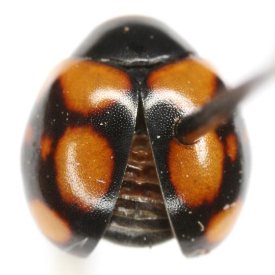 Brachiacantha arizonica Schaeffer - Brachiacantha arizonica