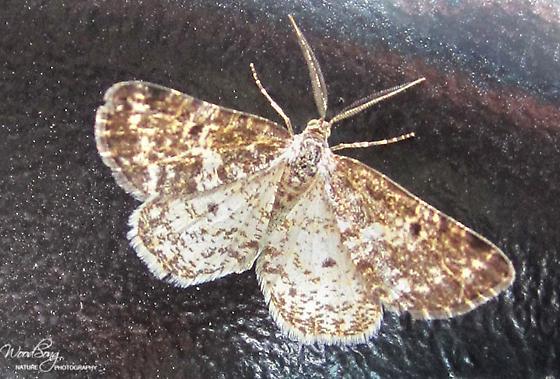 Sharp-lined Powder Moth - Hodges#6639 (Eufidonia discospilata) - Eufidonia discospilata