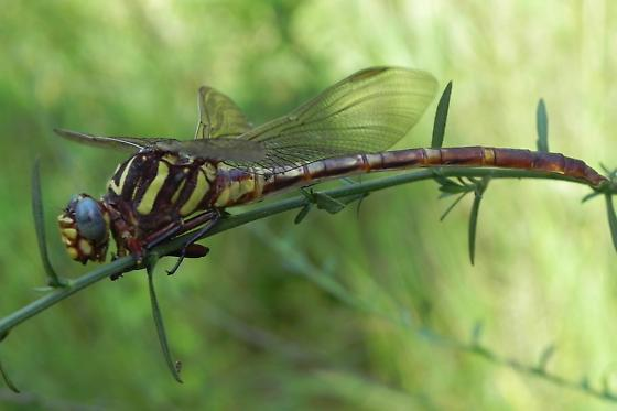TX Dragonfly species? - Aphylla angustifolia - female