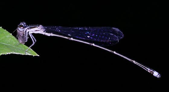 Blackwater Bluet - Enallagma weewa - male