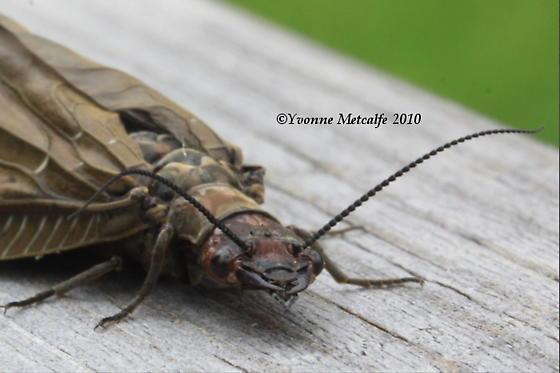 Dark Fishflies Mating? - Nigronia serricornis - female