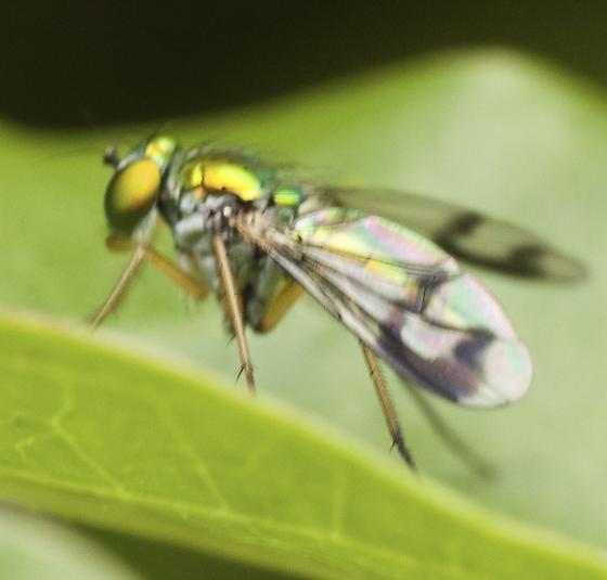 Marked Wings Condylostylus - Condylostylus