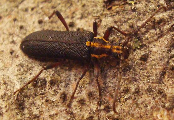 Pyrotrichus vitticollis LeConte - Enoploderes vitticollis