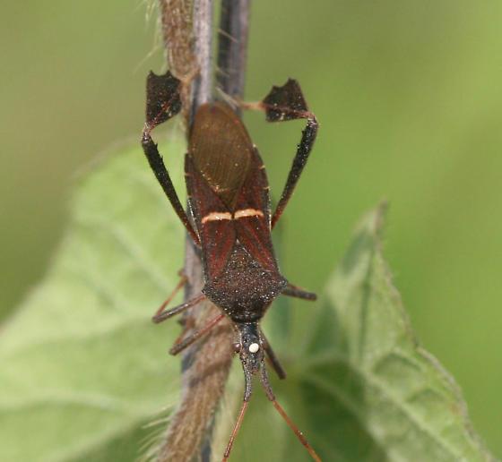 Eastern leaf-footed bug - Leptoglossus phyllopus