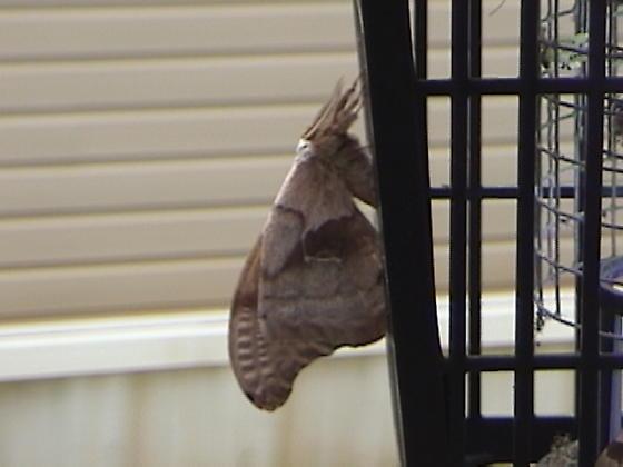 Moth. I think - Antheraea polyphemus