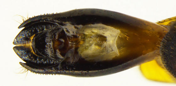 Agrilus latifrons - male