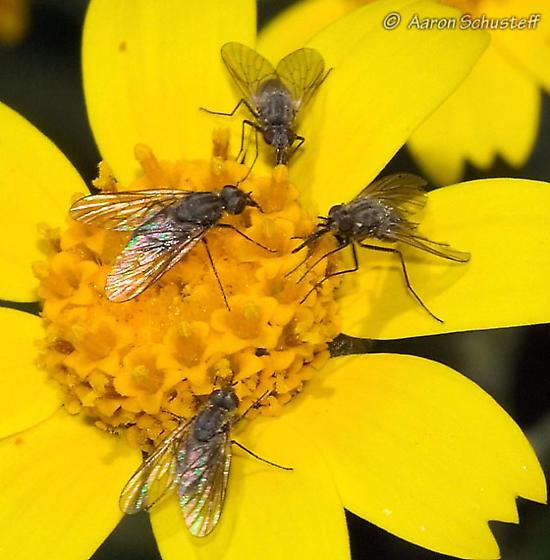 Phthiriinae? - Acreophthiria - female