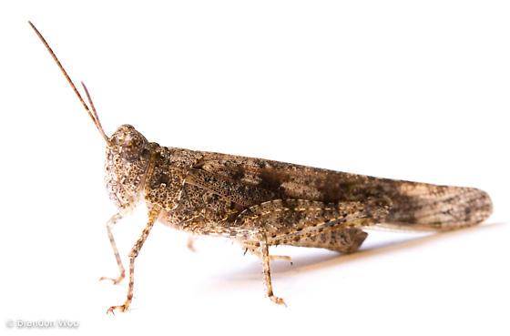 Trimerotropis maritima - male