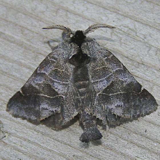 Clostera albosigma - Clostera brucei
