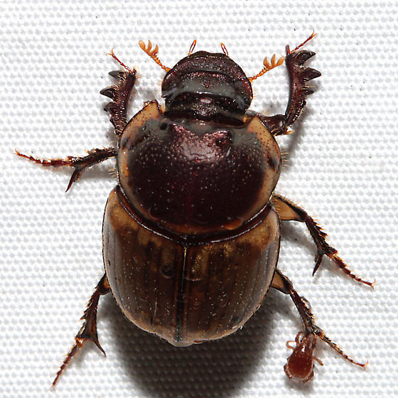 Unknown beetle with hitchhiker - Digitonthophagus gazella