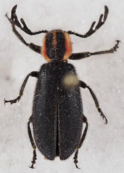 Clerid Beetle - Chariessa pilosa
