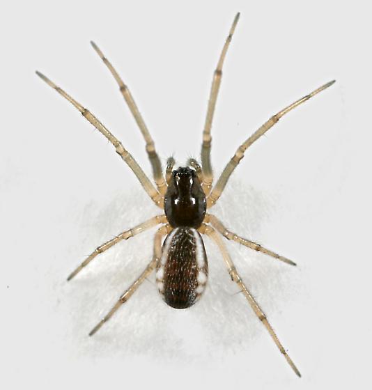 Small spider - Frontinella communis