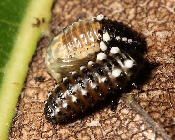 Leaf Beetle - Chrysomela aeneicollis