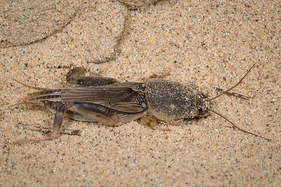 Southern Mole Cricket - Neoscapteriscus borellii