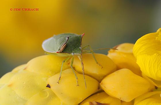 bug - Loxa flavicollis