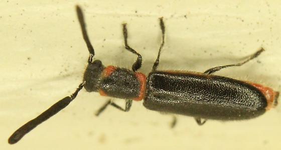 Monophylla terminata? - Monophylla terminata - male