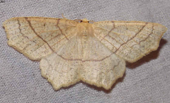 Oak Besma - Besma quercivoraria - male