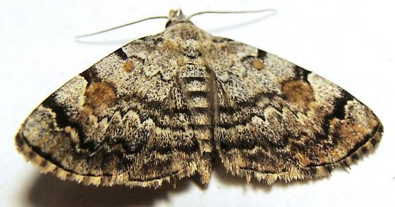 Litter Moth - American Idia - Idia americalis