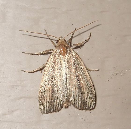 Narrow-winged Borer - Photedes defecta