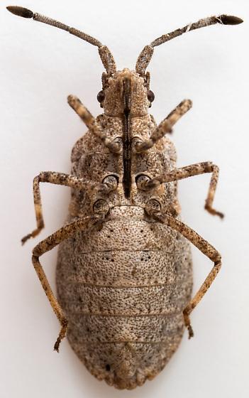 Female, Scolopocerus uhleri? - Scolopocerus uhleri - female