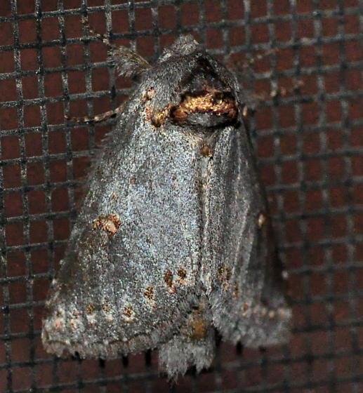 Theroa  zethus, 8000 - Theroa zethus
