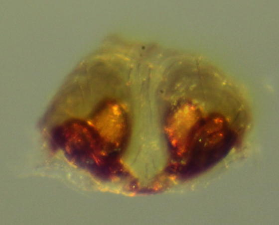 Pirata montanoides--voucher image - Pirata montanoides - female