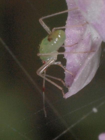 Green Bug, small