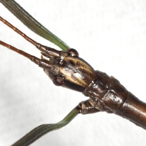 Northern Walkingstick - Diapheromera femorata - male