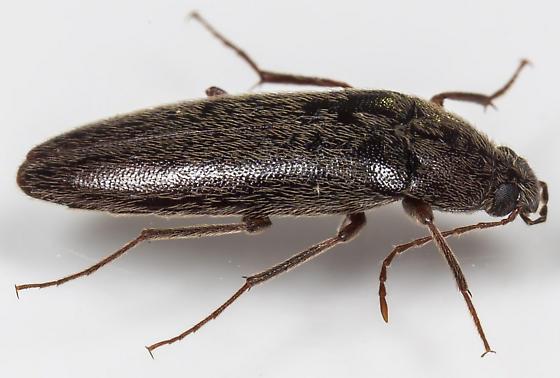 Beetle - Synchroa punctata