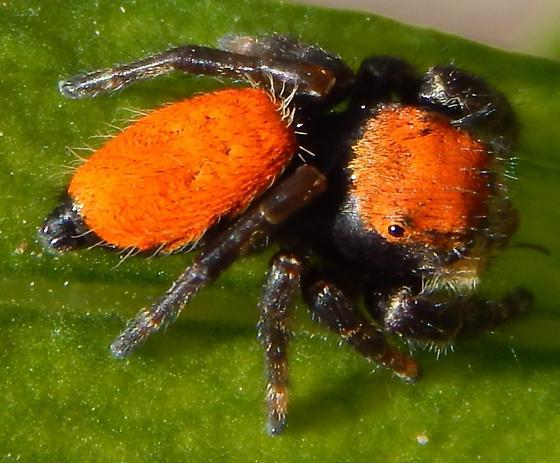 P. apacheanus or P. cardinalis? - Phidippus