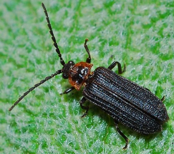 Beetle - Eropterus trilineatus