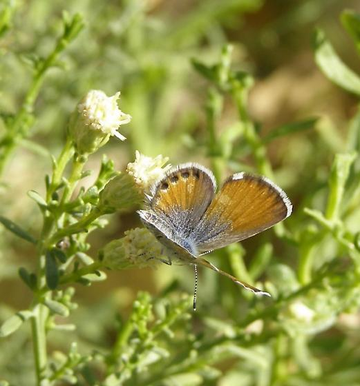 Western pygmy blue butterfly - photo#15