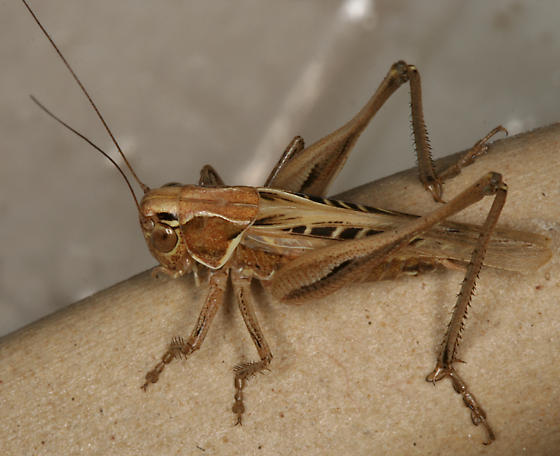 Brown-spotted Bush-cricket - Tessellana tessellata - female