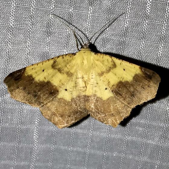 Antepione thisoaria - male