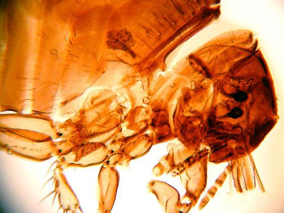 Sticktight Flea, Echidnophaga gallinacea - Echidnophaga gallinacea - female