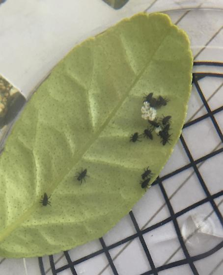 Insect and eggs on underside of lime leaves