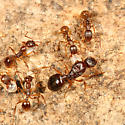 worker ants with the queen - Aphaenogaster - female