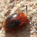 Stenotarsus hispidus ?? - Stenotarsus hispidus
