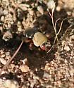 Centris Rhodopus - Centris rhodopus - female