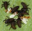 Ladybird Hatchlings - Harmonia axyridis