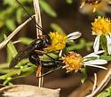 Ichneumon - Lissonota - female