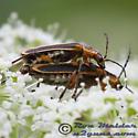 Margined Leatherwing - Chauliognathus marginatus - female