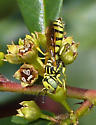Beewolf - Philanthus multimaculatus - male