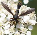 Wasp on yarrow - Physocephala sagittaria