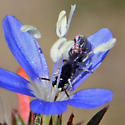 Hylaeus? - Ceratina arizonensis - male